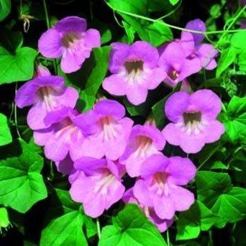 Outsidepride Asarina Rose Flowering Vine Seed - 200 Seeds