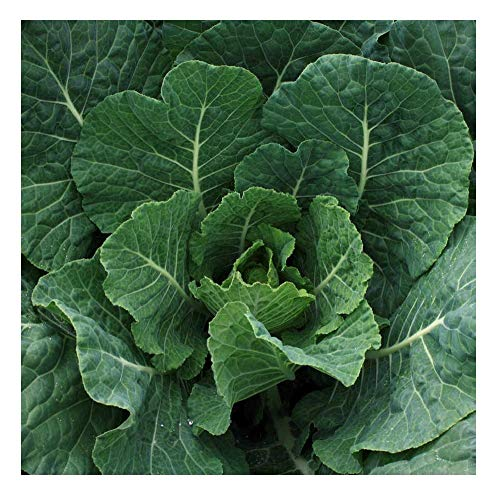 Davids Garden Seeds Collards Southern product image