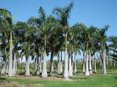 4 Live Royal Palm Trees with Pots and Growing Instructions