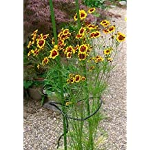 Richters Coreopsis Seeds
