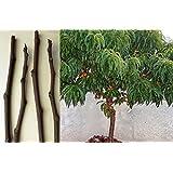 Plentree Seeds Package: 4X Scions Peach: 4 Wood Scion Sticks Seeds Nectarine Smooth Skinned Peach Cuttings Bud Grafting