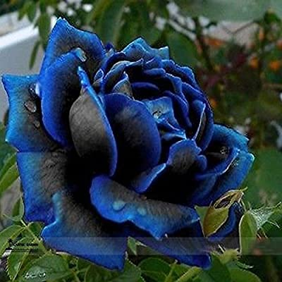 Professional Pack 50 Seeds / Pack,new Midnight Supreme Rose Bush Flower Seeds