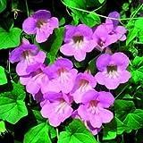 Climbing Snapdragon Asarina Scandens Rose 20 Seeds Garden Seeds 2u