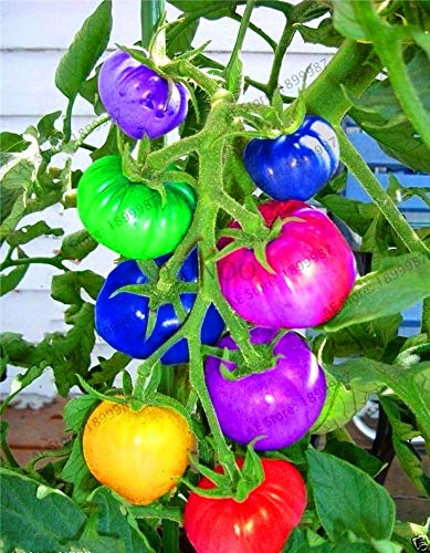 Time-Limit!!100pcs Rare Rainbow Tomato Plants Ornamental Pot Organic Heirloom Bonsai Vegetables Herb Food for Home Garden Plant