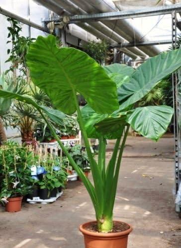 Amazon Com Alocasia Calidora Persian Palm Elephant Ear
