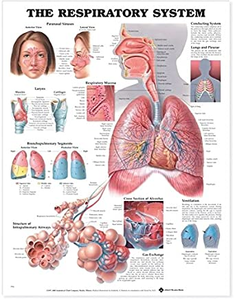 Amazon The Respiratory System Anatomical Chart Anatomical