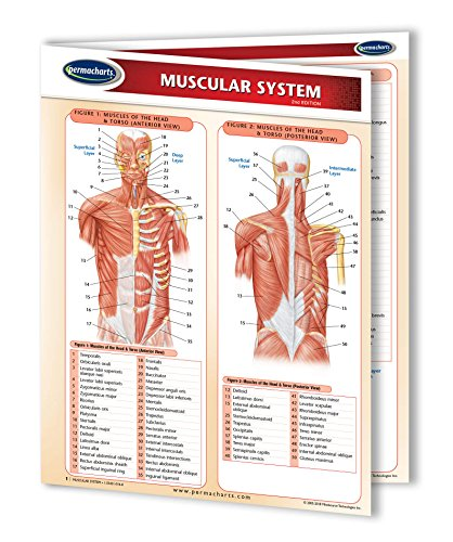 Muscular System Guide - Laminated Medical Quick Reference Guide by Permacharts