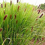 Outsidepride Pennisetum Red Buttons - 25 seeds