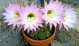 Rare ECHINOPSIS MULTIPLEX oxygona Exotic Easter Lily Cactus Seed Cacti 20, Seeds