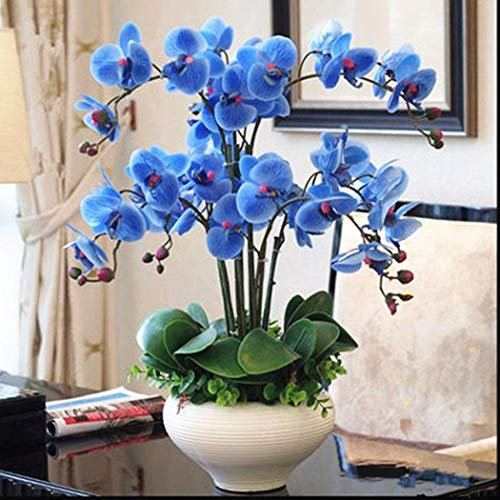 Caiuet Seed, 100Pcs/Pack Orchid Seeds,Rare Phalaenopsis Seeds Orchid Bonsai Flower Seeds for Home Garden Balcony Planting