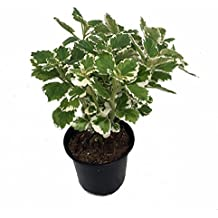 "Variegated Swedish Ivy Plant - Plectranthus - 4"" Pot"