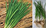 1 Bare Roots of Fresh Garlic Chives - Live Plants Not Seeds