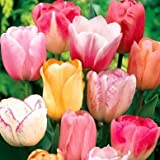 Pastel Mix Tulip Flower Seeds 50 Stratisfied Seeds