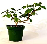 "Royal Purple Bougainvillea Plant -Indoors/Out or Bonsai - 4"" Pot GIFT Hardy"