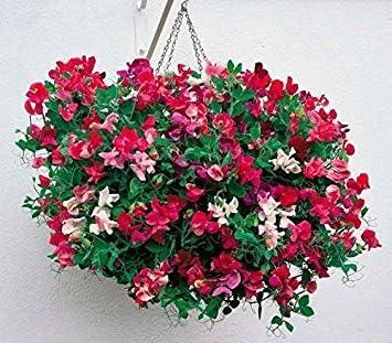 Semillas BloomGreen Co. Flor: Guisante de olor-Real Farmer Mix ...