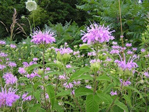 Rose Scented Bergamot Bee Balm Live Plant Garden Perennial Nectar Plant Butterflies ()