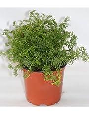 Manzanilla (Maceta 10,5 cm Ø) - Planta viva - Planta aromatica