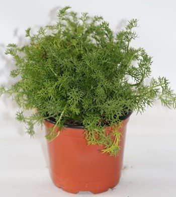 Manzanilla (Maceta 10, 5 cm Ø) - Planta viva - Planta aromatica ...