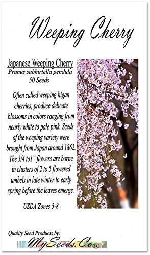 BIG PACK - (50) JAPANESE Weeping Cherry Tree Seed - Prunus subhirtella pendula Seeds - By MySeeds.Co (Big Pack - Weeping Cherry)