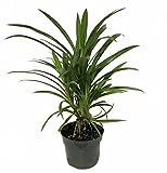 Pandan Spice Plant - Amaryllifolius pandanus - Grow Indoors or Out - 4'' Pot