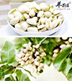 Yukio Samenhaus - 5 Stück Obstsamen echte Pistazie (Pistacia vera) - männliche Pflanze mehrjährig winterhart für Garten-Terasse-Balkon