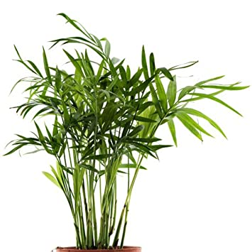 Seedeo Bambuspalme Chamaedorea Seifrizii 20 Samen Amazon De Garten