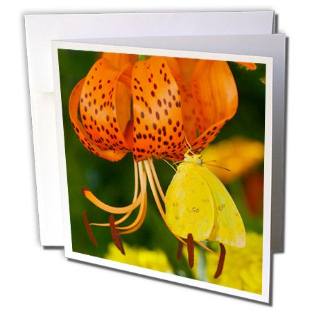 3dRose Danita Delimont - Butterfly - Sulphur Butterfly in the Phoebis family 01 - 12 Greeting Cards with envelopes (gc_249851_2) -
