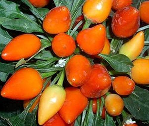 - Orange Salsa Pepper - These are BEAUTIFUL! - Great used in Salsa! (5 - Seeds)