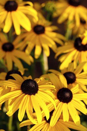 Black Eyed Susan Flower Care