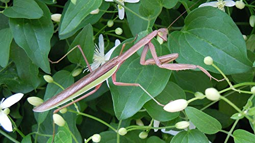Home Comforts Canvas Print Insect Wildlife Wing Eyes Praying Mantis Greenery Vivid Imagery Stretched Canvas 32 x 24
