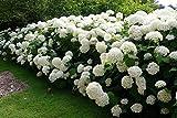 Annabelle Hydrangea, 1 Gallon Live Plant, Best Seller
