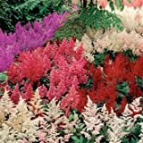 Outsidepride Astilbe Bunter - 1000 Seeds