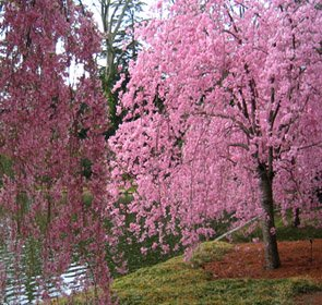 Japanese Weeping Cherry Tree 'Higan' (2-3 feet tall) Pink blooms in the spring!