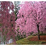 Japanese Weeping Cherry Tree 'Higan' - Live Plant - Shipped Over 4 Feet Tall