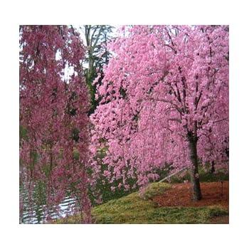 Amazon Com Japanese Weeping Cherry Tree Seed Prunus