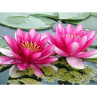 Beautiful Aquatic Mini Lotus Pink Flowers 10 Seeds : Garden & Outdoor
