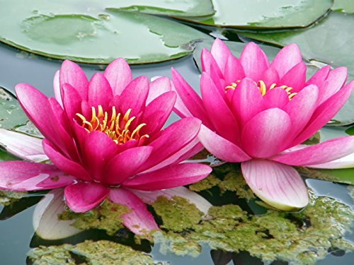 Beautiful Aquatic Mini Lotus Pink Flowers 10 Seeds
