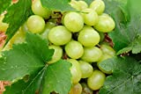 Thompson Seedless Grape Vine