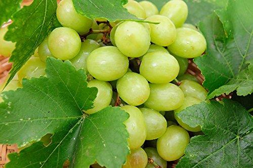Thompson Seedless Grape Vine