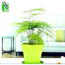 Balcony plant Asparagus fern seeds EVERGREEN HOUSE PLANT POT PERENNIAL BONSAI garden decoration plant 10pcs C03