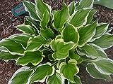 Hosta 'So Sweet' - Quart Pot - Heavy - Healthy - Perennial - Ea 1 by Growers Solution