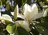MAGNOLIA GRANDIFLORA 'D D BLANCHARD' - FRAGRANT - PLANT