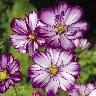 FIZZY ROSE PICOTEE COSMOS 30 SEEDS GREAT FOR COTTAGE GARDEN LOVELY CUT (Cosmo Cottage)