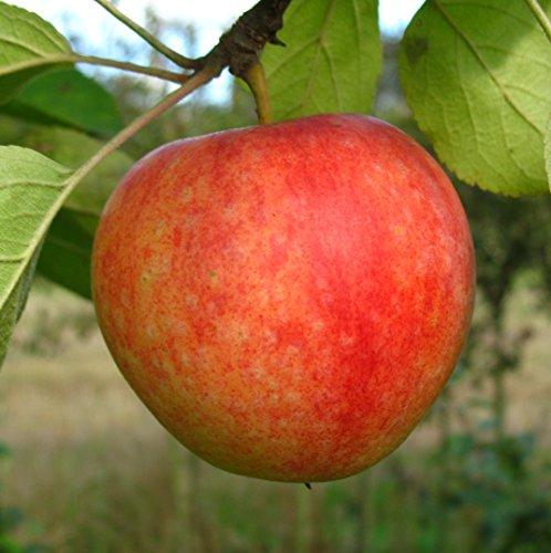 Apfelbaum, Cox Orangenrenette, Malus domestica, Obstbaum winterhart, alte Sorte gelb, im Topf, 80 - 100