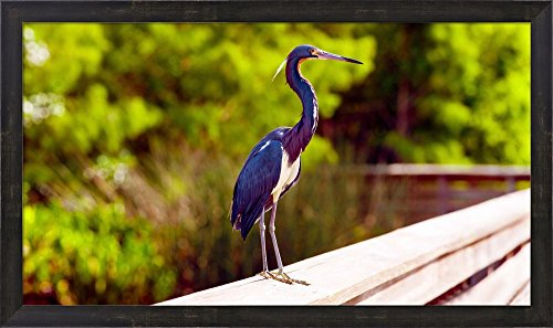 Close-up of an blue egret, Boynton Beach, Florida, USA by Panoramic Images Framed Art Print Wall Picture, Espresso Brown Frame, 31 x 18 ()