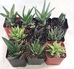 """5 Different Aloe Plants - Easy to grow/Hard to Kill! - 2"""" Pots unique from Jmbamboo"""