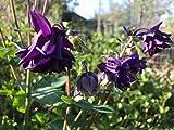 P047X01. 1 Plant of Aquilegia Black Garden Columbine