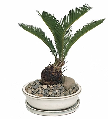 Sago Palm Bonsai in Ceramic Dish - Easy to (Indoor Sago Palm)