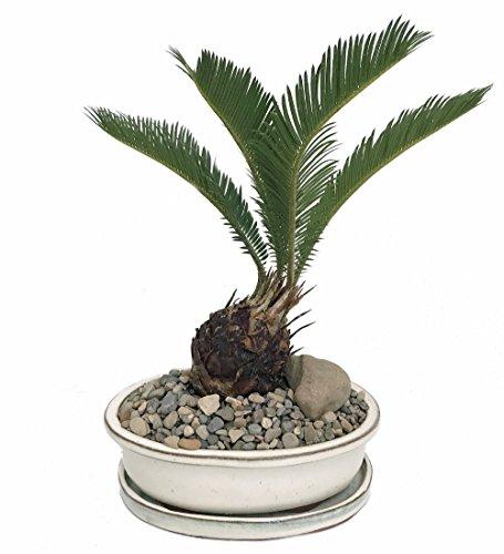 Sago Palm Bonsai in Ceramic Dish - Easy to Grow by Hirt's Gardens
