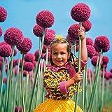 Qenci Seeds - 30 PCS Allium giganteum Seeds Adorable Flower Fragrant Blooms Large Flowered Scallion Seeds Flowers Bulbs